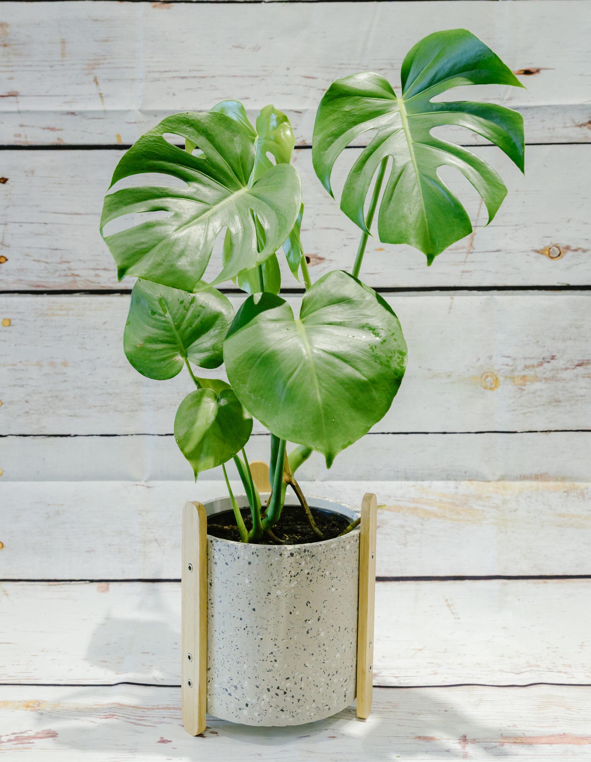 Deliciosa Monstera Plant