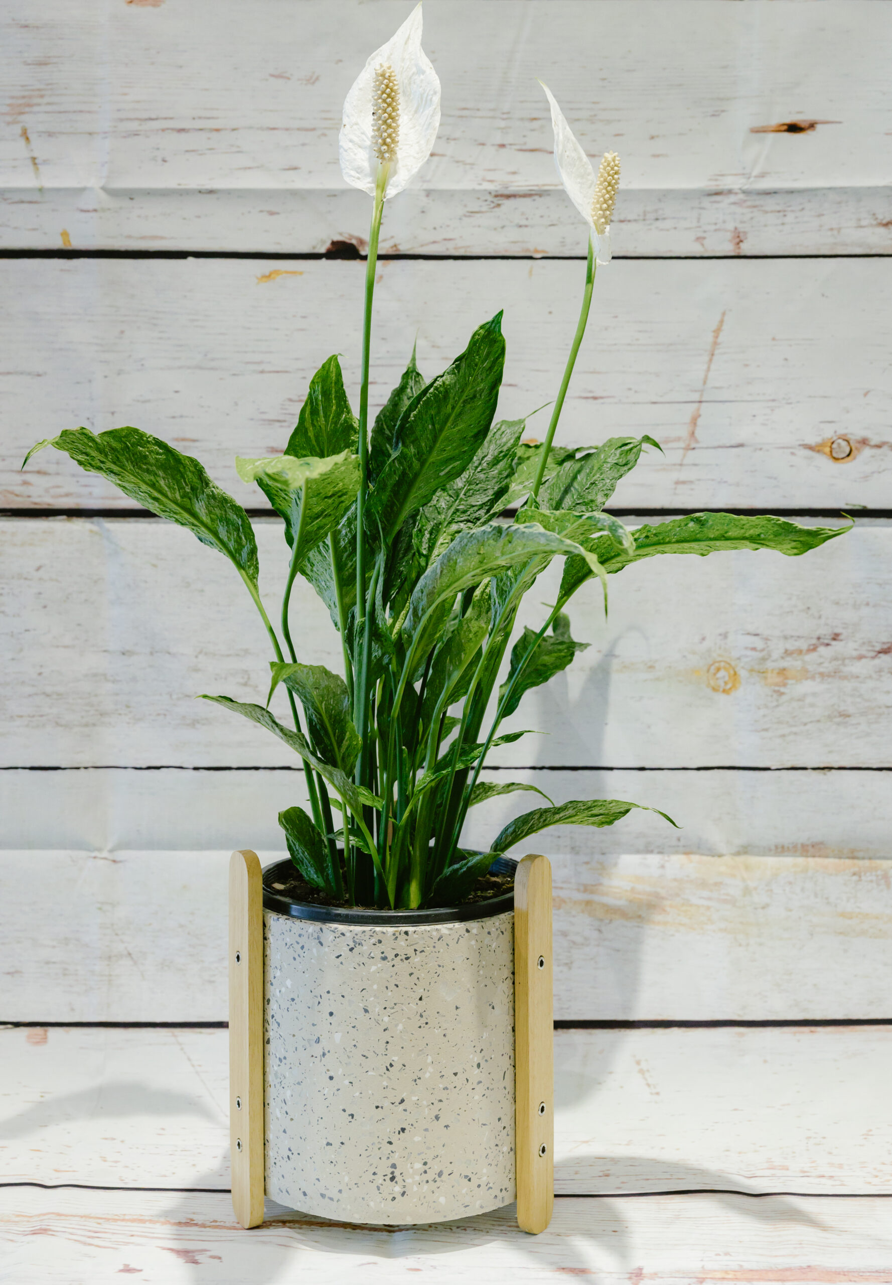 Tranquil Peace Lily